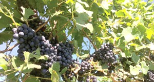 Why 2016 Was the Best Year for Ohio Vineyards in a Long, Long Time