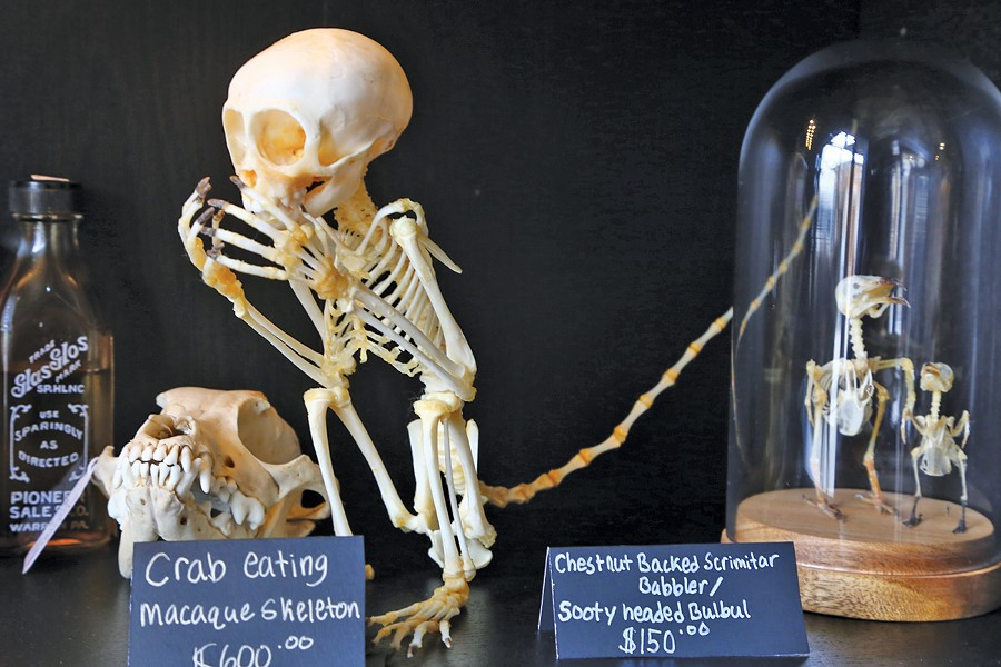 Authentic skeletal remains, available at Cleveland Curiosities.