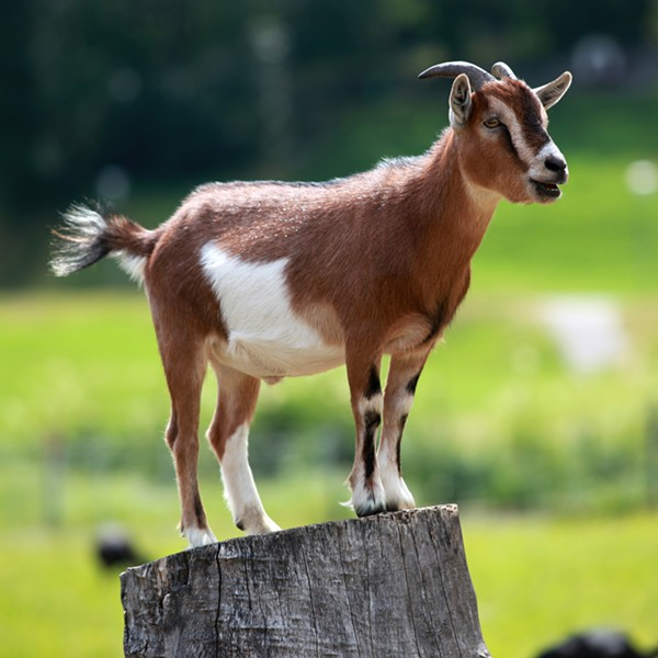 This is not the goat that broke into a Northeast Ohio home. - PHOTO VIA WIKIMEDIA COMMONS
