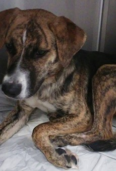 Alexis, a female hound mix, is now available for adoption.