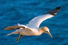 Northern gannet - WIKIMEDIA