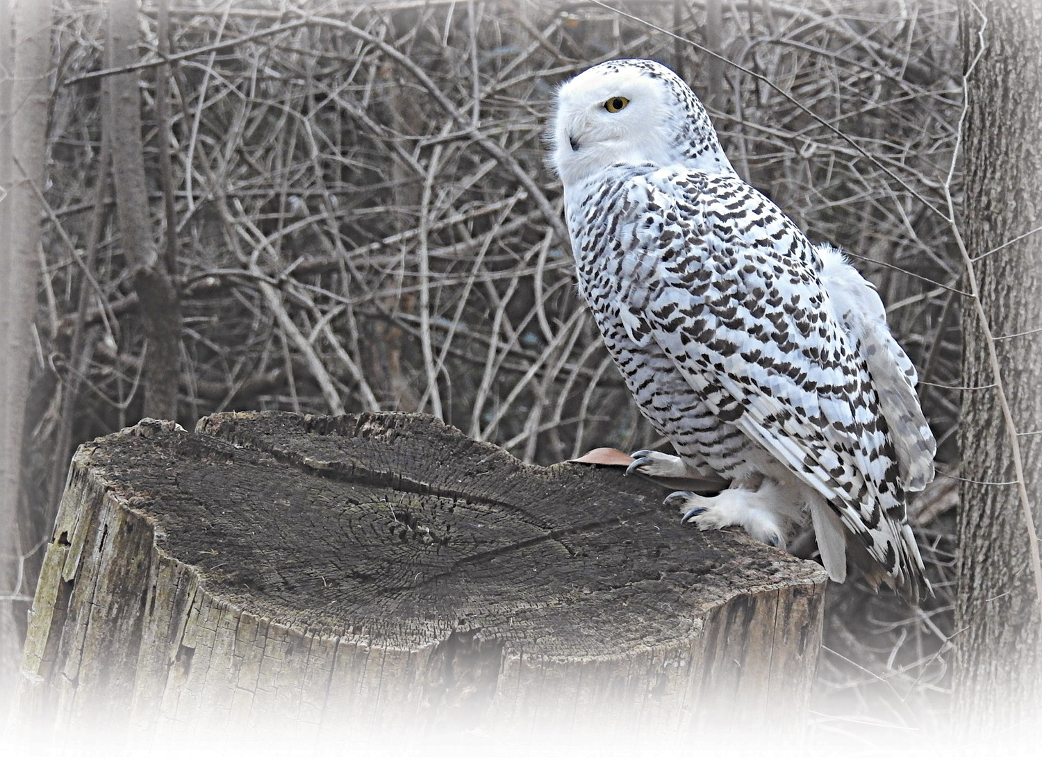 how to catch a glimpse of snowy owls and their feathery brethren in