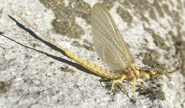 Hordes of Mayflies Continue to Bombard Northeast Ohio, Covering Cars