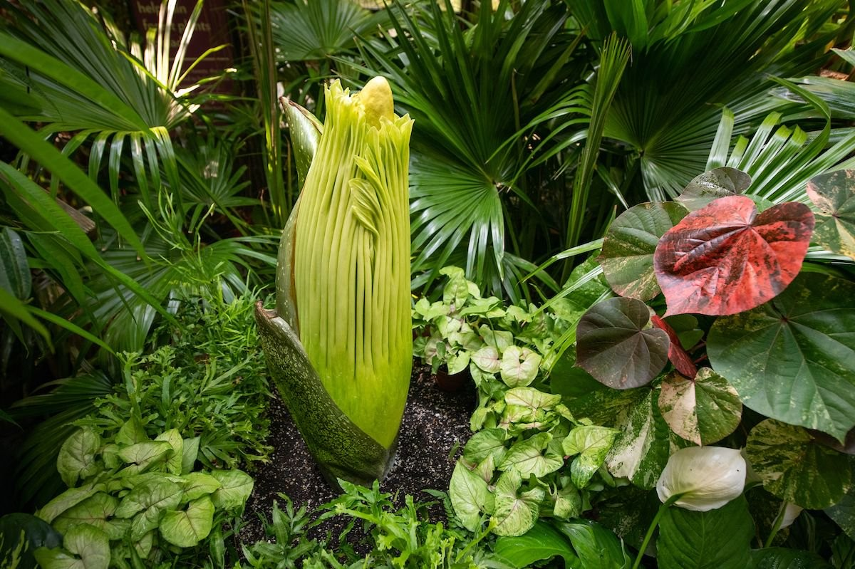 Stinky-Ass Corpse Flower To Open At Cleveland Metroparks