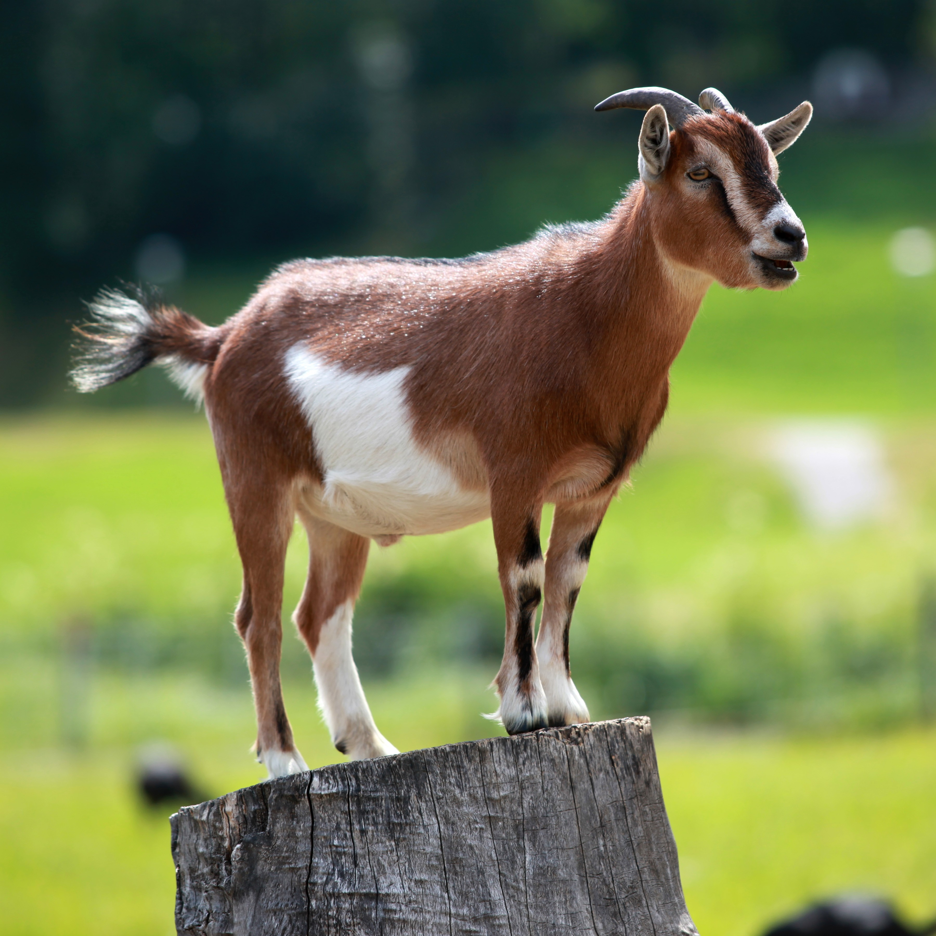 Cozy Home Theater: Goat Breaks Into Northeast Ohio Home, Understandably Falls
