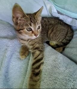 """""""Felicia,"""" one of the elegant young ladies up for adoption. - CLEVELAND APL"""