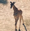 You Can Now Help Name The Baby Giraffe at Cleveland Metroparks Zoo