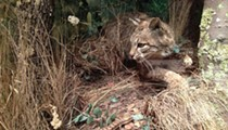 Researchers: Trapping of Once-Endangered Bobcats in Ohio a Premature Move as Species' Numbers Recover