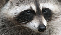 'Zombie-Like' Raccoons Puzzle Officials, Residents in Youngstown