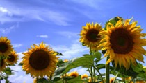 Both Maria's Sunflower Field of Hope Locations Set to Bloom Early Next Month