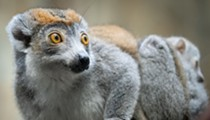 The Cleveland Metroparks Zoo Just Welcomed Two Wide-Eyed Baby Lemurs