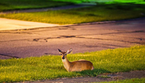 Eight People Charged for Illegal Deer Poaching in Broadview Heights