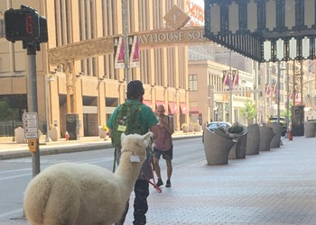 There's a Guy Walking an Alpaca on a Leash Around Downtown Cleveland