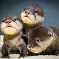 Three Adorable Baby Otters Born at Cleveland Metroparks Zoo