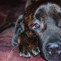 Forrest, Bull Mastiff at Center of 2013 Animal Cruelty Case, Has Died