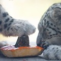 These Photos of Cleveland Metroparks Zoo Animals Eating Pumpkins are Everything
