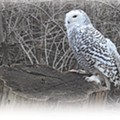How to Catch a Glimpse of Snowy Owls and Their Feathery Brethren in Northeast Ohio