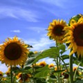 Maria's Sunflower Field of Hope is Getting a New Home at Cedar Point