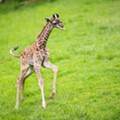 Cleveland Metroparks Zoo Reveals New Baby Giraffe's Name on Longest Day of the Year