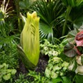 Stinky-Ass Corpse Flower to Open at Cleveland Metroparks Zoo Soon