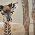 Cleveland Metroparks Zoo Offers First Look At New Baby Giraffe