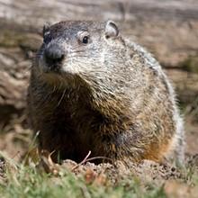 16641786_groundhog.jpg