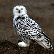 snowy_owl_floyd_davidson.jpg