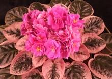 7159a453_violet-pinkvergplant.jpg