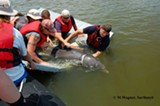 MARK WAGNER (SAVANNAH STATE UNIVERSITY MASTER'S OF MARINE SCIENCE STUDENT) - Letting the dolphin go back to sea