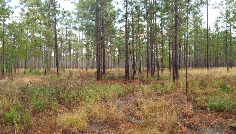 Longleaf pines are characterized by large cones, long needles and flat-top crowns when mature. Ft. Stewart is a key refuge for this threatened ecosystem.