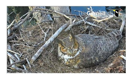 The Owl Who Shall Not Be Named continues to sit on her eggs atop a pine tree on the edge of a golf course on the Landings.