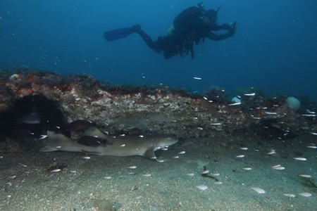 DIver swimming over nurse shark under a ledge at Gray's Reef National Marine Sanctuary. Pic by Greg McFall of NOAA.