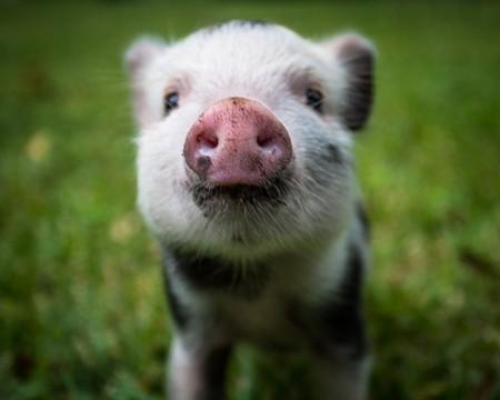pigs1-1-9650e4f22332c22e.jpg