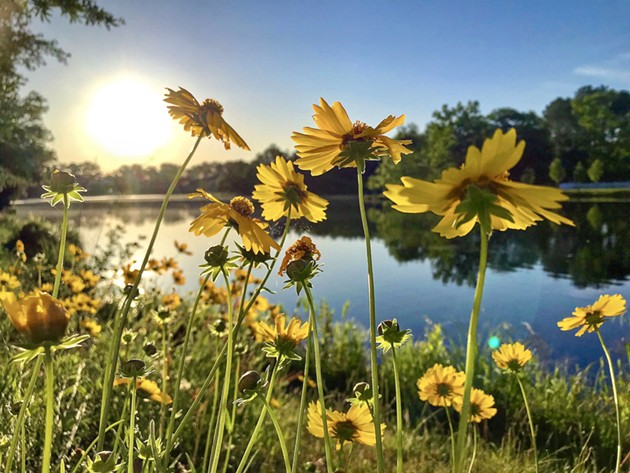 Julie McCracken's photo of lance-leaved coreopsis won the Plant Life category of the Ogeechee Riverkeeper photo contest. - JULIE MCCRACKEN