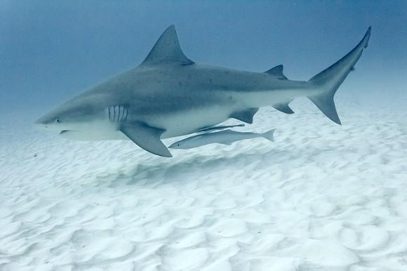 bull-shark.jpg