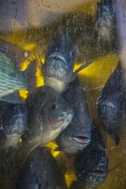 Almost ready to harvest, these tilapia were raised in a closed loop that uses fish waste as fertilizer to grow fresh vegetables. - PHOTOS BY JON WAITS /@JWAITSPHOTO
