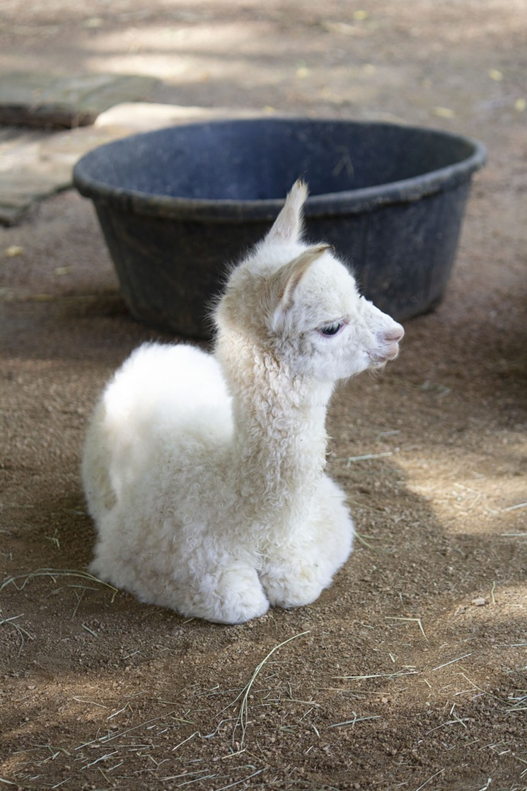 Cheer up and go see this adorable baby alpaca at the Dallas Zoo this week. - COURTESY DALLAS ZOO AND CHILDREN'S AQUARIUM AT FAIR PARK
