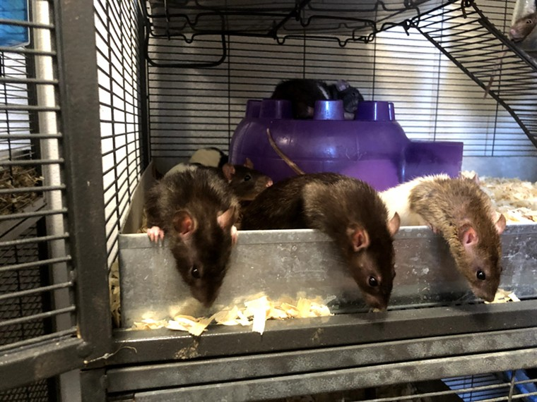 DFW Rat Rescue can house up to 100 domesticated rats at once. The nonprofit says they are highly responsive to their human owners. - DANNY GALLAGHER