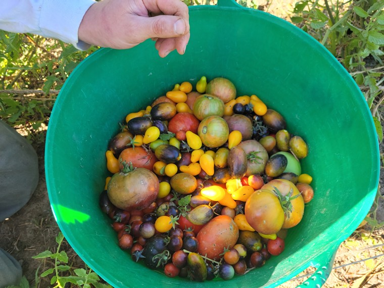 Harvesting tomatoes for Nocturne Jazz & Supper Club. - LINNEA COVINGTON