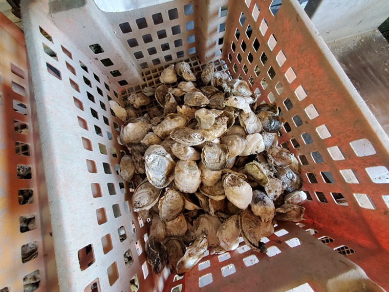 After reaching the right size, oysters are flown directly to Denver. - MOLLY MARTIN