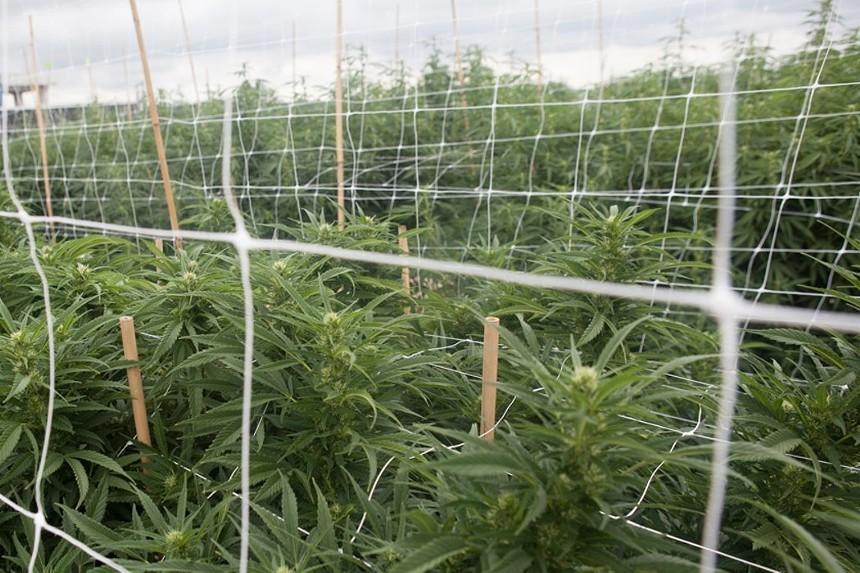 Los Sueños is one of North America's largest outdoor marijuana growing operations. - JACQUELINE COLLINS