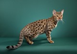 DIANA STARR, STARRLIGHT PHOTOGRAPHY - A Bengal from Bangle's Bengals.