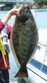 WIKIMEDIA COMMONS - A California halibut.