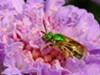 A green sweat bee.