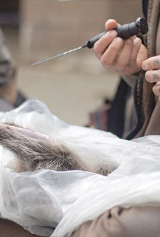 A San Francisco man prepares to turn a freshly killed raccoon into a hat and soup.