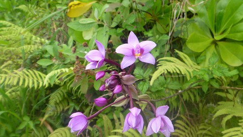 A wild Hawaiian orchid on Kauais rugged North Shore
