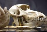 """Adrian Van Allen's """"Cranio di Scimmia."""""""