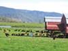 Alexandre Kids farm organic chickens graze on pasture near Crescent City.