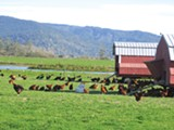 CORNUCOPIA INSTITUTE - Alexandre Kids farm organic chickens graze on pasture near Crescent City.