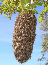 MARK OSGATHARP/WIKIMEDIA COMMONS - Allowing bees to swarm helps maintain bee health.